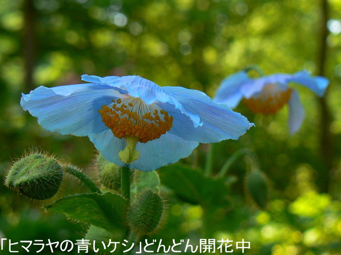 kesi1.jpg青いケシ
