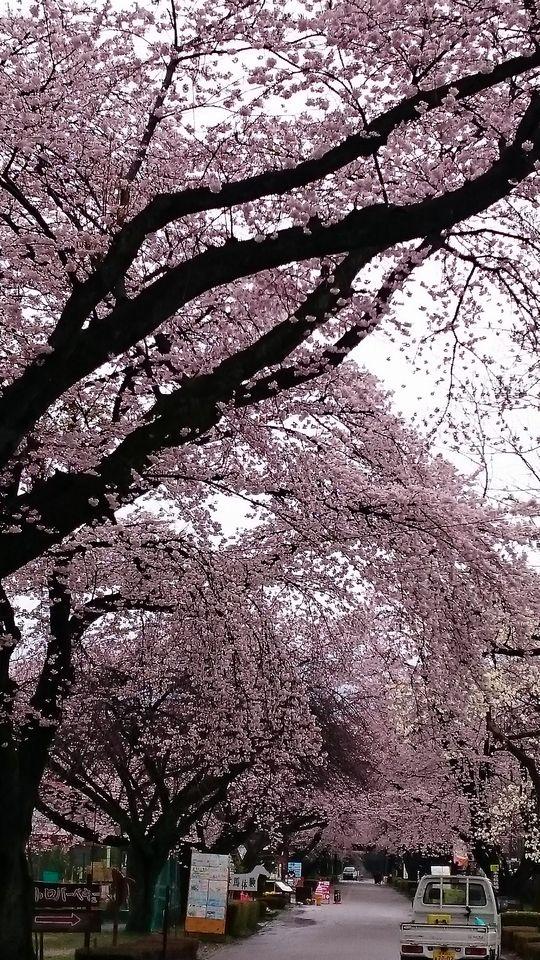 DSC_1576.jpg千本松桜