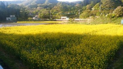 f4e85876-s.jpg菜の花畑