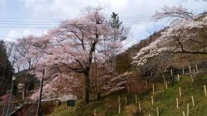 19f4917f-s.桜jpg
